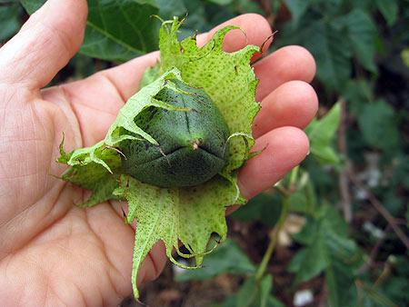 Baumwolle - gossypium herbaceum