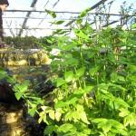 Sedanina (Apium nodiflorum)