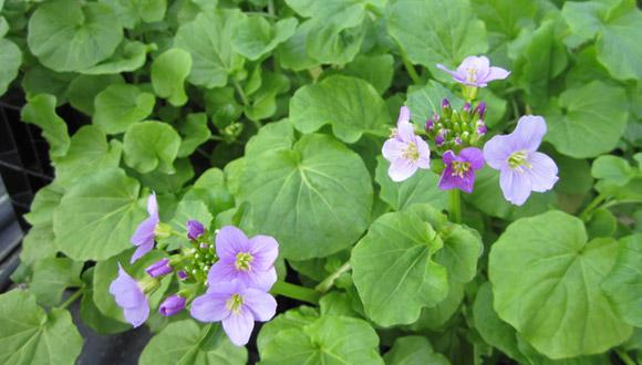 Kresse-Schaumkraut (Cardamine raphanifolia)