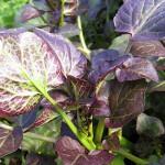 Rote Brunnenkresse (Nasturtium x officinalis)