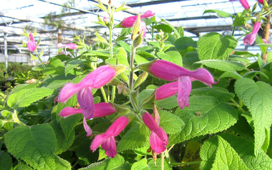 Fruchtsalbei (Salvia dorisiana)