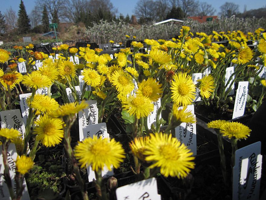 Huflattich in Blüte