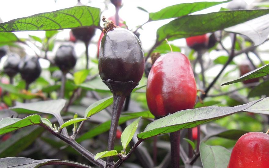 chili-peruvian-purple