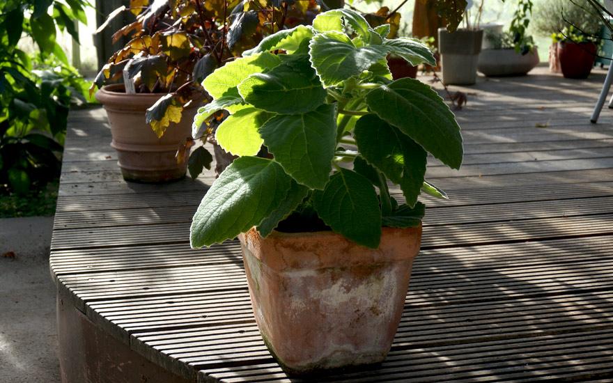 australisches Zitronenblatt